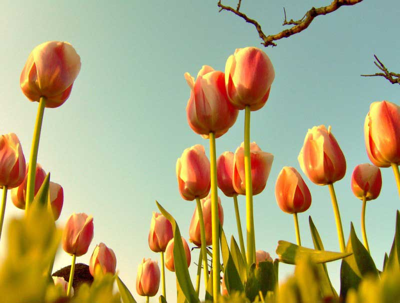 A Rose by Any Other Name Still Isn't a Tulip